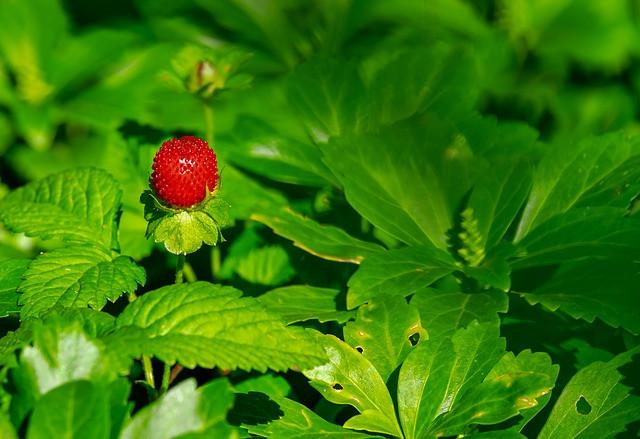 popolna jagoda brez znakov bolezni