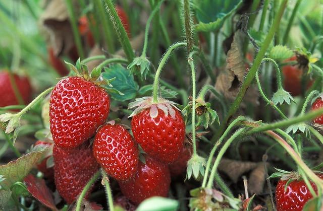 Pravila sajenja jagod za zdrav pridelek
