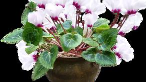 Sobne rastline - sobna ciklama