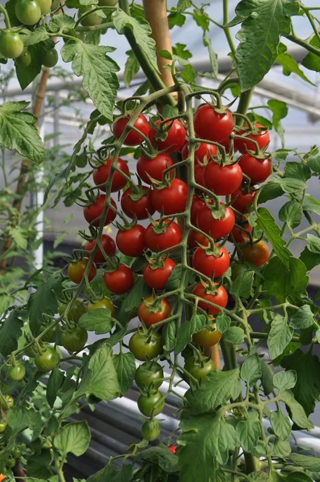 2. način ekološka gnojila TERRA - paradižnik: Vrtnarstvo Hodak
