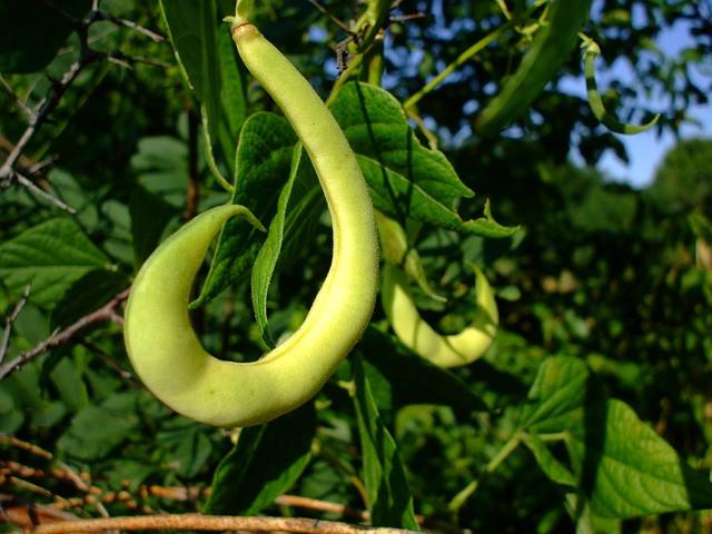 Sajenje fižola