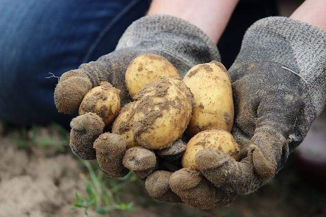 Bolezni krompirja lahko prelisičimo