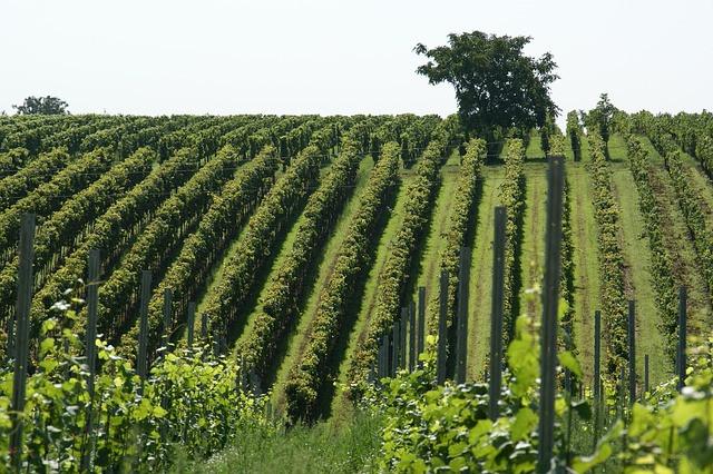 Lega in mikroklima vinograda vplivata na pojav oidija