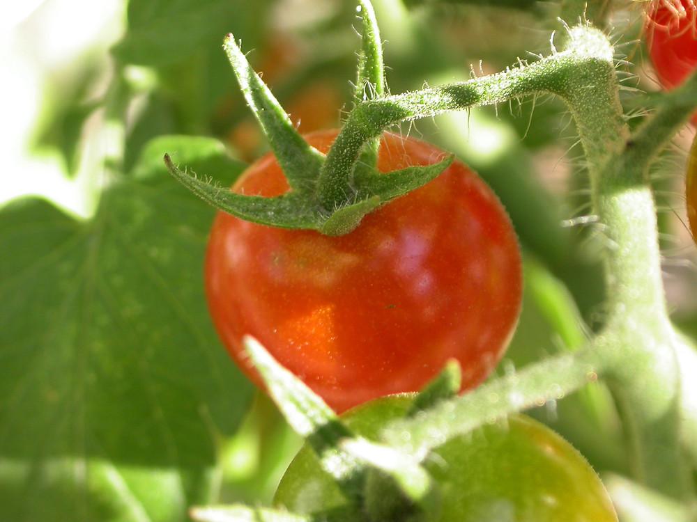 Bolezni paradižnika - Nasveti za preprečitev bolezni -Ekopridelava