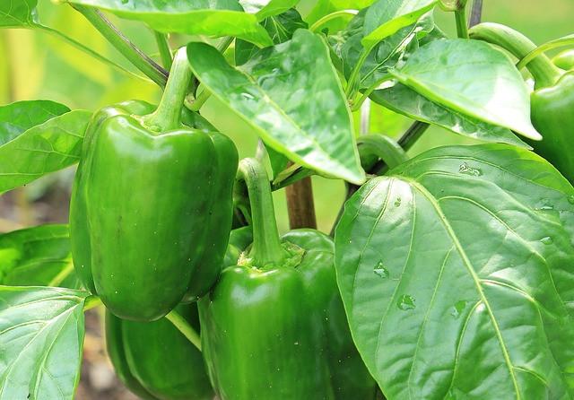 Kaj gre lahko narobe pri vzgoji paprike?