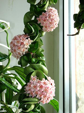 Hoya compacta v vsej lepoti