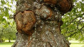 Rak sadnega drevja in druge bolezni