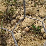 Limestone cress cropped.jpg
