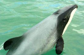 Top-10-Maui-Dolphin.jpg