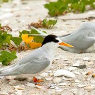Top-10-Fairy-Tern-Birds.jpg