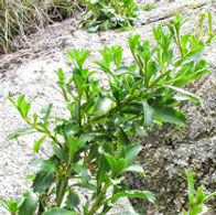 Top-10-Lepidium-Banksii.jpg