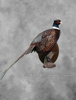 pheasant2016-2-1.jpg