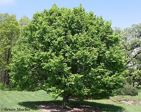 european_hornbeam_900_edited.jpg