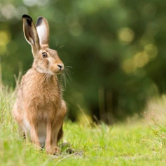 Hare at the Windmills.jpg