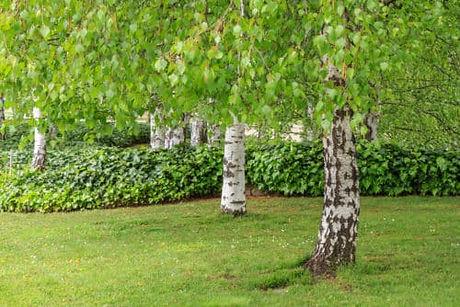 birch-silver-summer-500x334.jpg