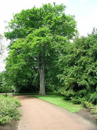 Beech Tree (004).jpg