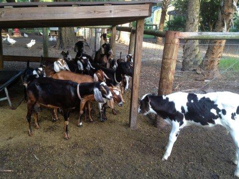 Goats meet new calf.JPG