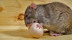 rat-poulailler-min.jpg