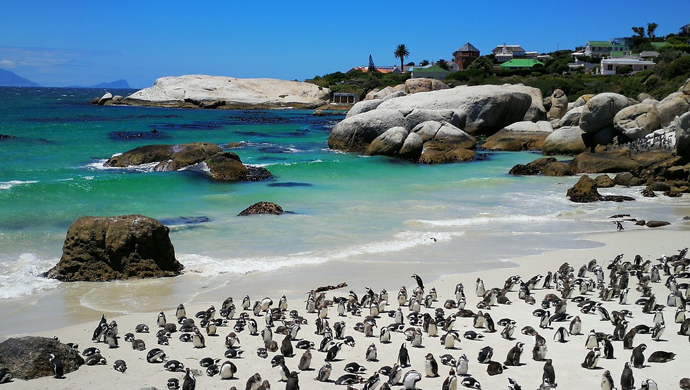 African penguins colony at Boulders Beach Simon's Town Cape Town South Africa