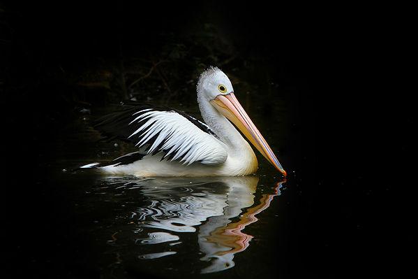 pelican-61197_1920.jpg