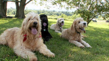 Grooming Glorious Goldendoodles