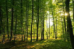 Springtime forest with setting sun shining through leaves and branches. Nature, forestry,