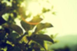 sun_leaves.jpg