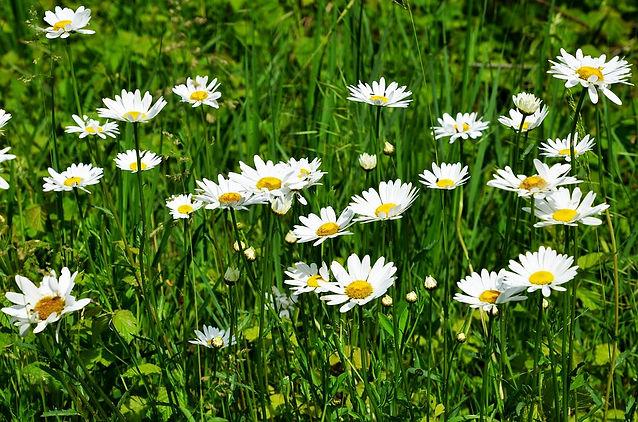 daisy-4198799_960_720.jpg