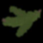 Сосна лапник 8
