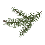 Kiefer Fichte Zweige 8