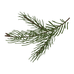 Pine Spruce Branches 8