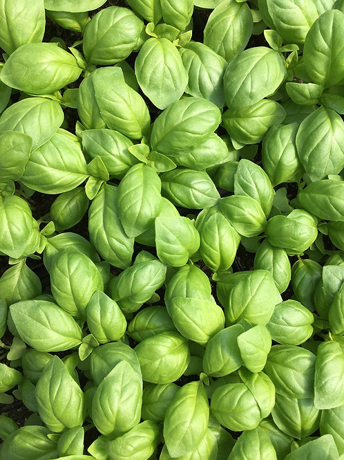 """BASIL!! all kinds. 2"""" pots and more"""
