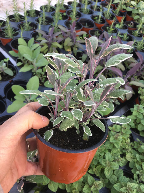 """Varigated Sage- 4"""" pot"""