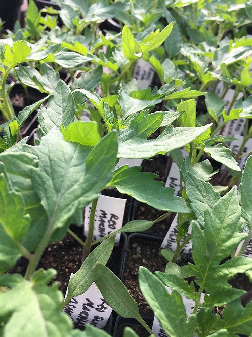 "Tomato- Martha Washington-2"" one plant"