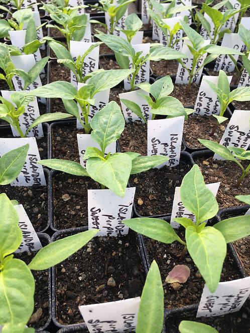 """Sweet Pepper- Purple Islander-2"""" one plant"""