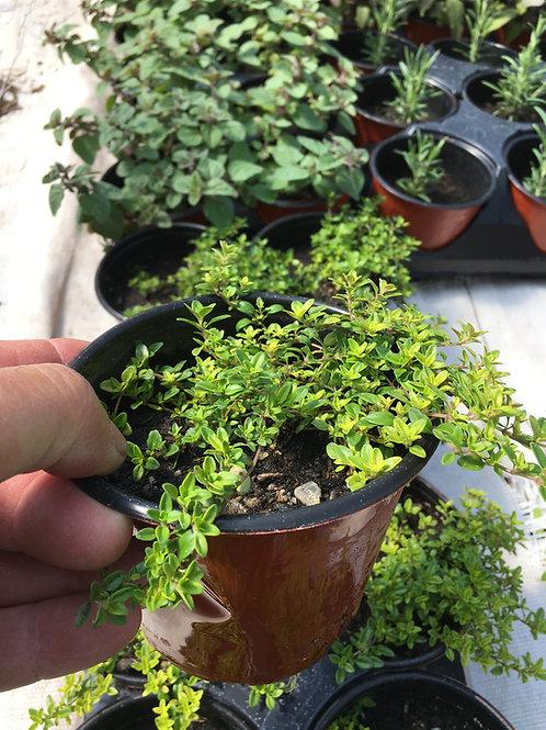 "Lime Thyme- 4"" pot"