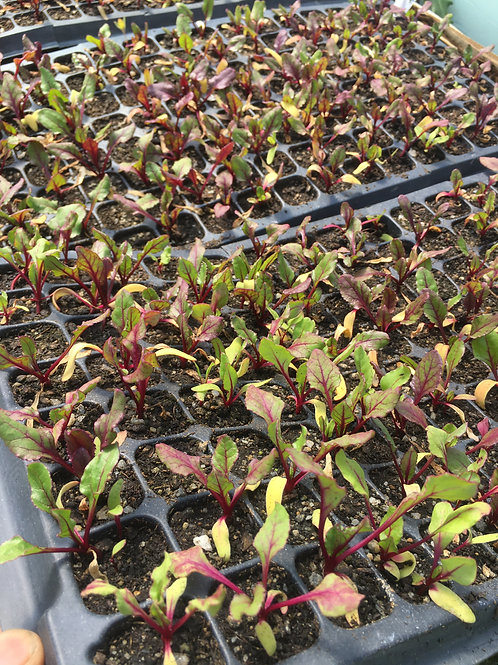 "Beets- Red- 10 pack 1""x1""-OG-plants"