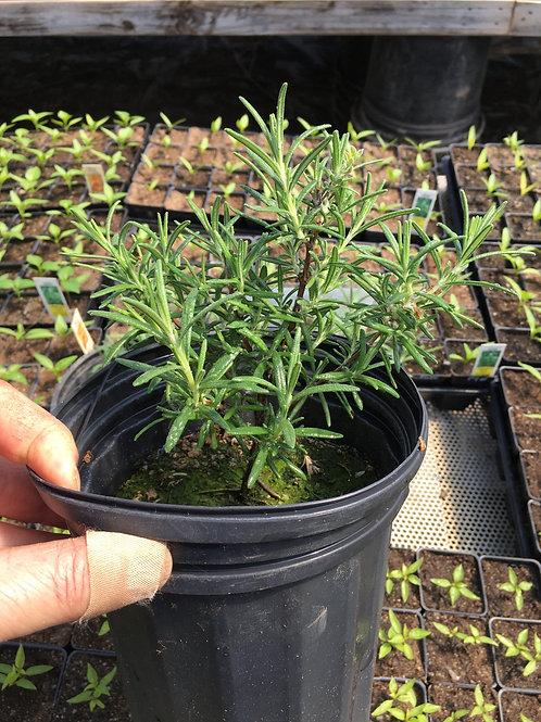 """Rosemary- 8"""" pots"""