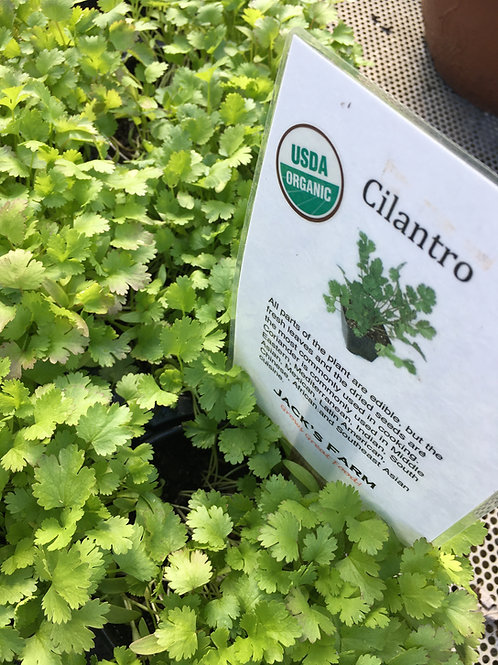 "Cilantro- 4"" pot"