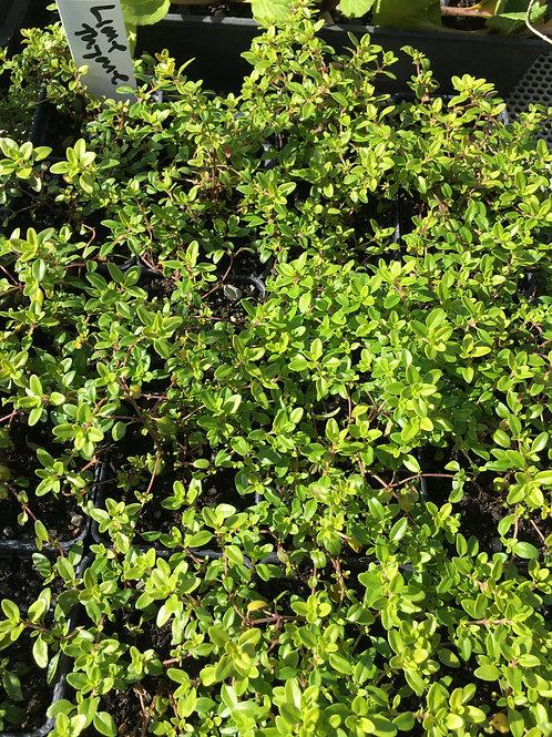 "Lime Thyme- 2"" pot"
