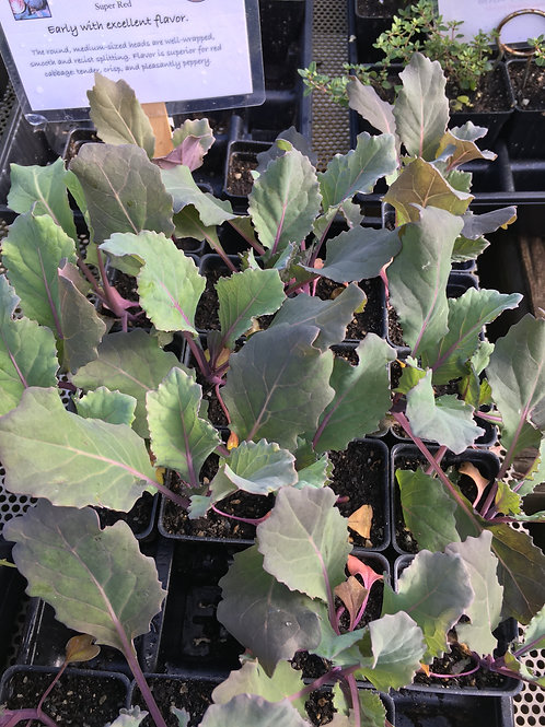 Cabbage Red- Organic- 1 plant