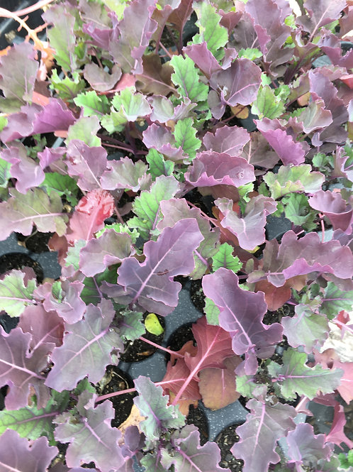 "Kale- Red Russian- 2"" pot -one plant"