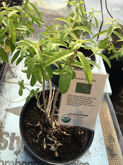 "8""- Lemon  Verbina-  mature plant"