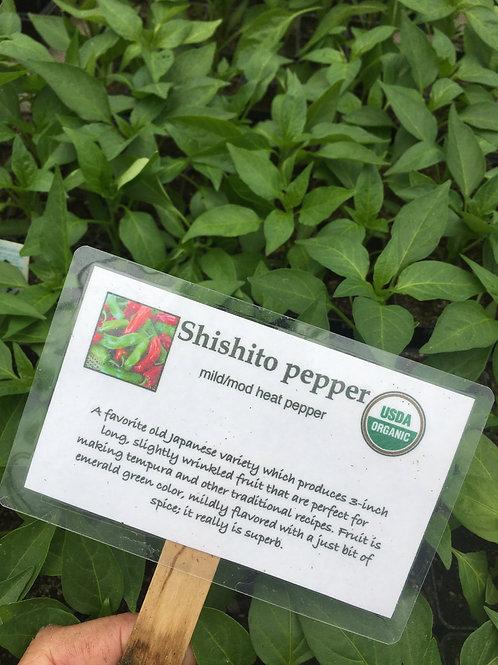 """Shishito pepper- 2"""" pot"""