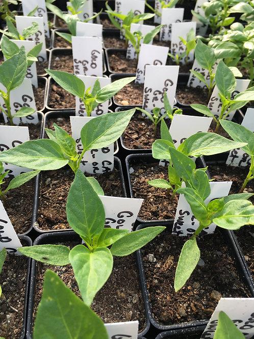 """Sweet Pepper- Golden California- 2"""" one plant"""