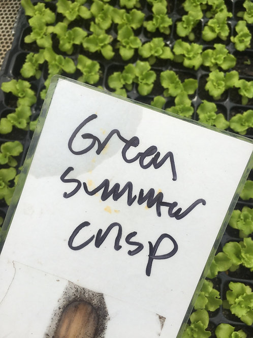 Lettuce-Green Summer Crisp-6 pk plugs