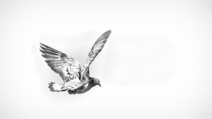 2020-06-01_Colmar_-_Pigeon_à_la_VM-1-1.