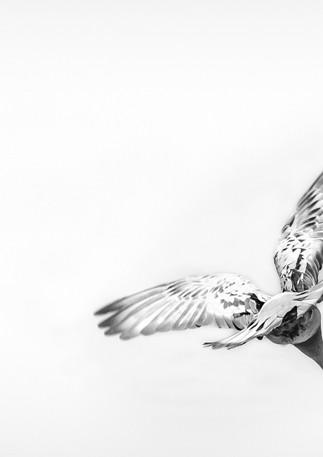 2020-06-01_Colmar_-_Pigeon_à_la_VM-2-1.