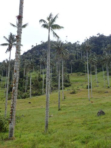 Palmiers blancs