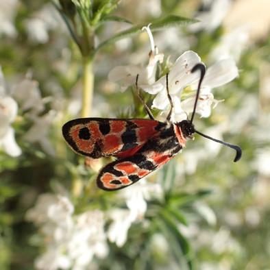 Papillon Zygène de la bruyère